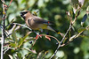 Cedar Waxwing Sep 10 2020