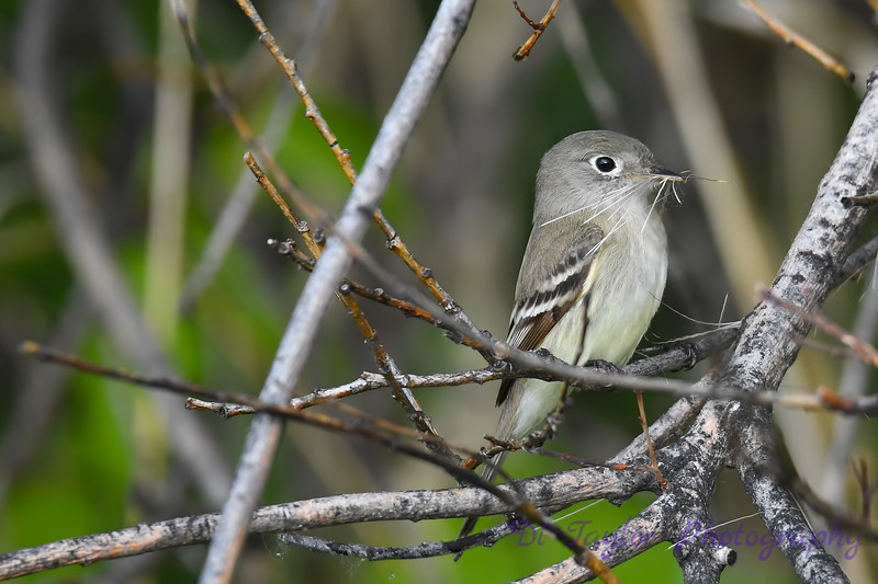 Least Flycatcher 27 May 2018
