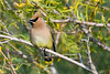 Cedar Waxwing 2  4 Aug 2019