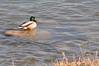 Mallard duck in spring, Saskatoon