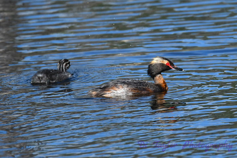 Horned Grebe July 2 2018