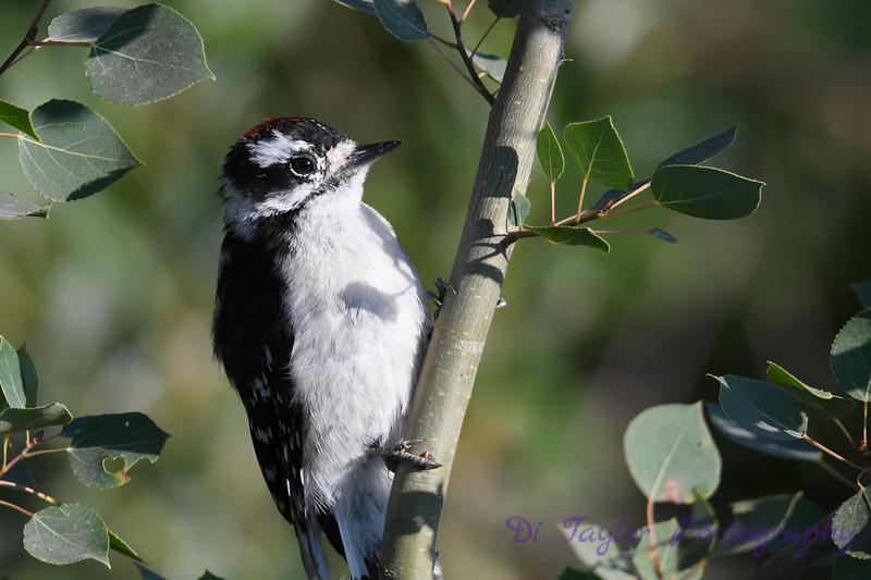 Downy Woodpecker 2 July 29 2018