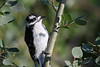 Downy Woodpecker 2 July 29 2018