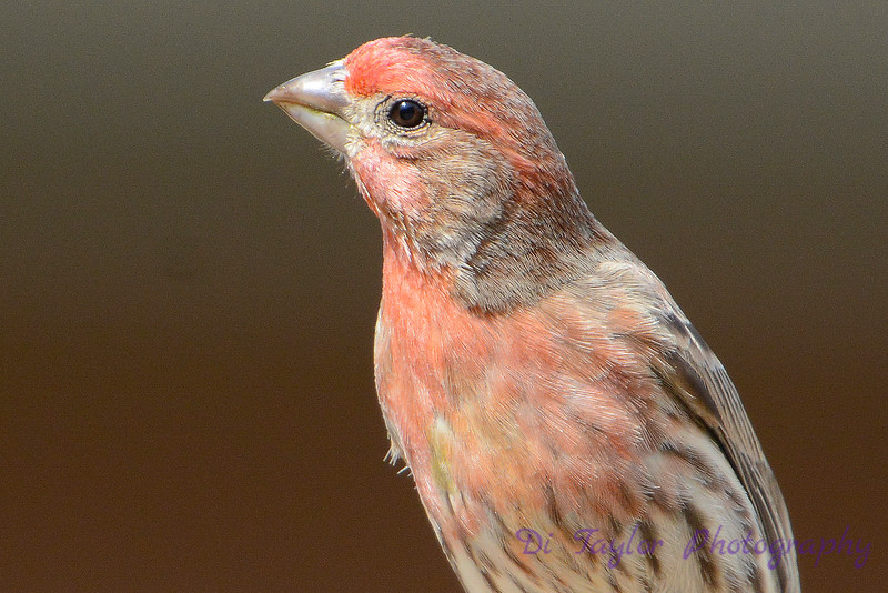 House finch close up