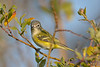 Blue-headed Vireo Sept 2  2017