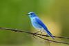 Bluebird 15