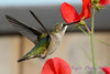 Female Ruby Throated Hummingbird with Sweet Peas 14
