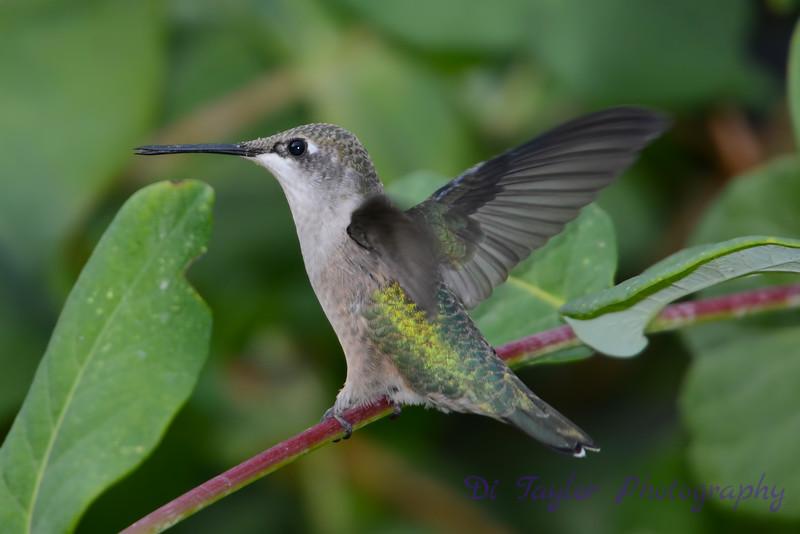Female Ruby throated hummingbird 23