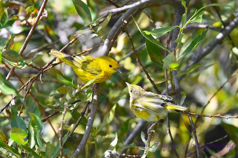 Yellow Warbler male feeding baby 8