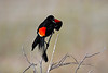 Red Winged Blackbird male 18 May 2019