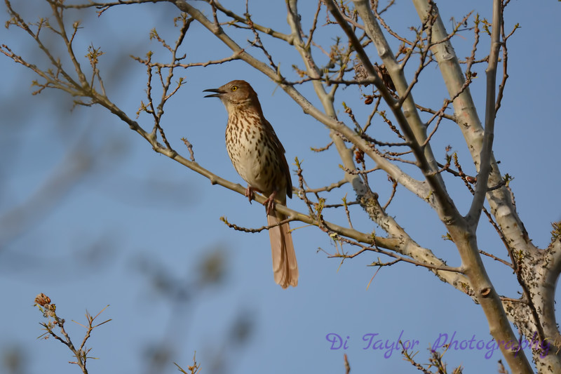 Brown Thrasher in tree May 31 2017