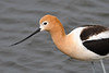 American Avocet closeup 2 Jun 2019