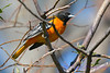 Baltimore Oriole male 3  Aug 21 2017