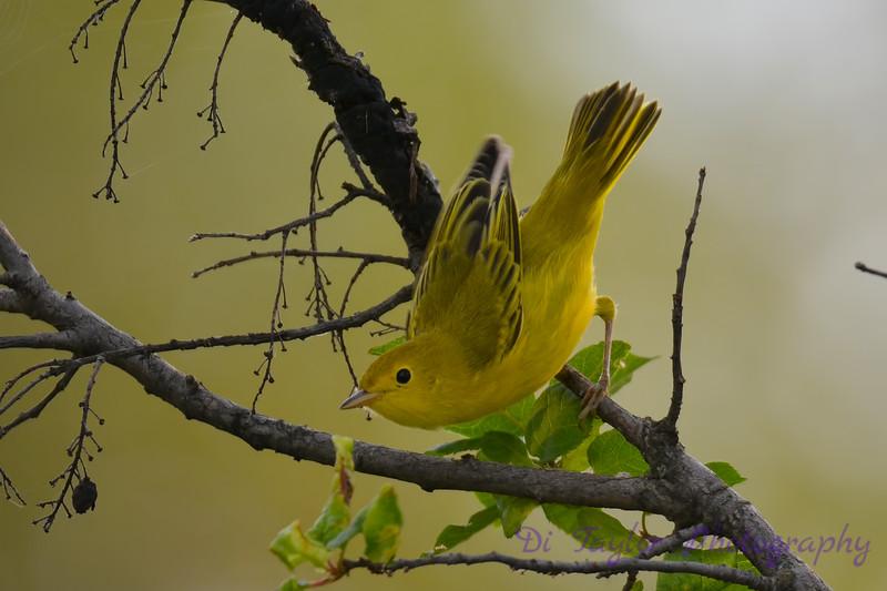 Yellow Warbler taking flight 28 Jul 2017
