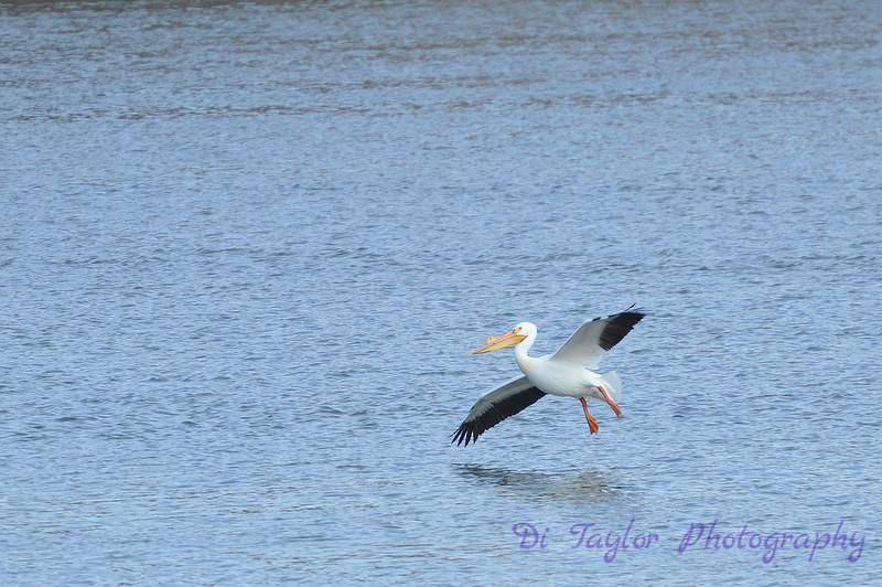 Pelican on the South Saskatchewan River, Saskatoon, Saskatchewan