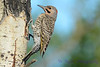 Northern Flicker on side of tree