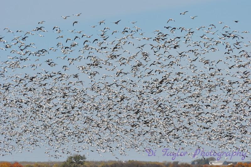 Snow geese in fall, Saskatchewan