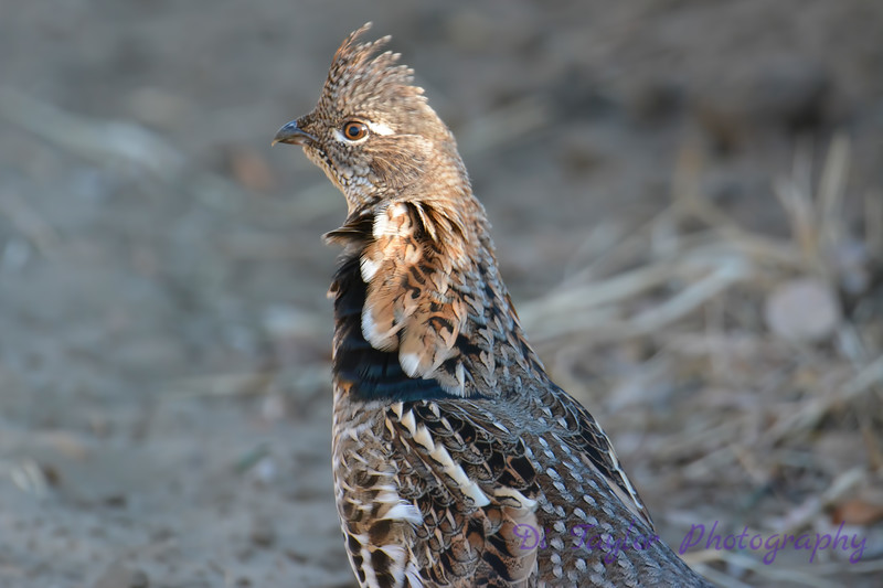 Ruffed Grouse Oct 14 2017
