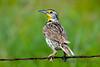 Meadowlark 6