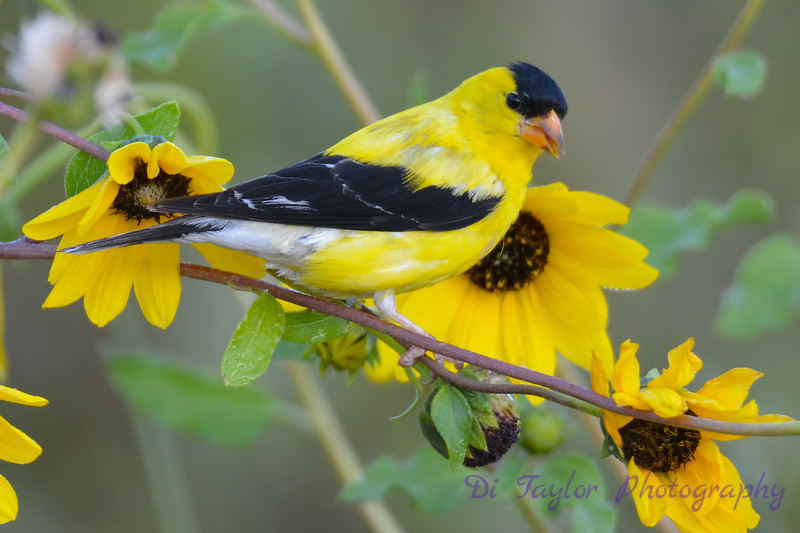 American Goldfinch male  in Daisies Aug 16 2017