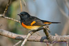 American Redstart male 7  Sep 10 2017