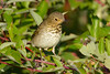 Hermit Thrush 4  Sep 17 2017