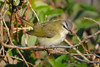 Red eyed Vireo 2  Aug 21 2017