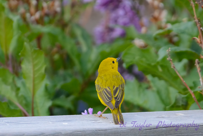Yellow warbler with lilacs