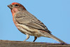 Male House finch close up