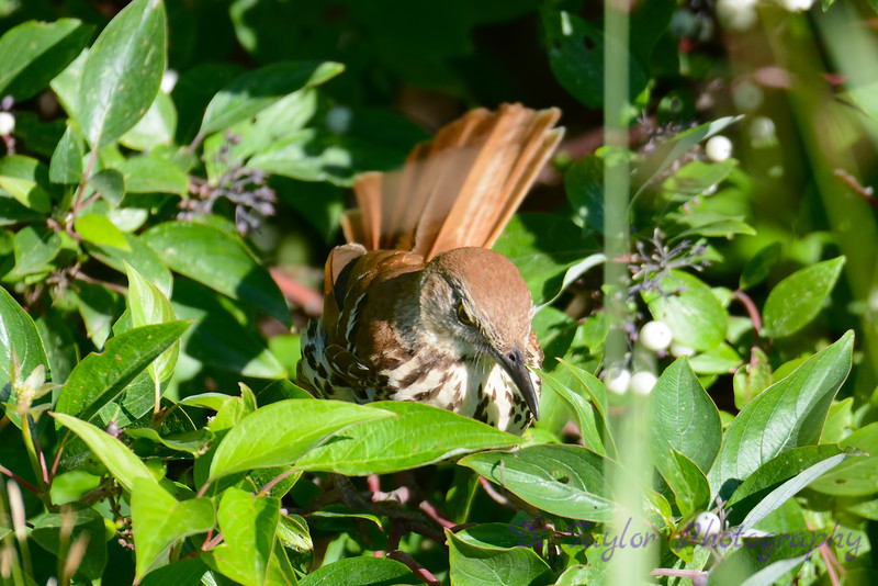 Brown Thrasher front facing