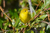 Yellow Warbler Sep 10 2017