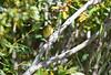 Blackpoll Warbler Sep 11 2020