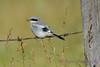 Loggerhead Shrike juvenile 2