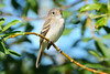 Least Flycatcher 3