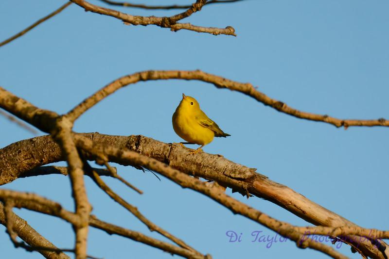Yellow Warbler 7212016