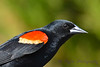 Red winged black bird close up