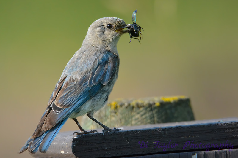 Mountain Bluebird female with food for the babies 28 Jul 2017
