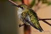 Very Young Hummingbird in bush 2