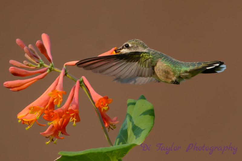 Female Ruby throated hummingbird 26