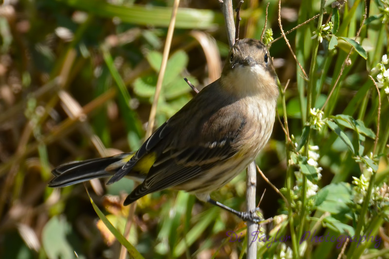 Yellow rumped Warbler 3 Sep 4 2017