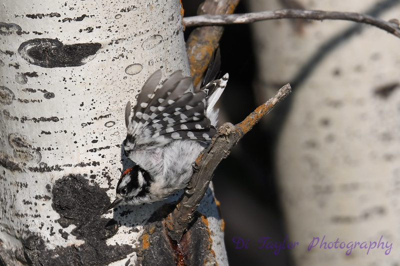 Downy Woodpecker 3 July 29 2018