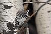 Downy Woodpecker 3 July 29 2018