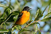 Baltimore Oriole Male 12