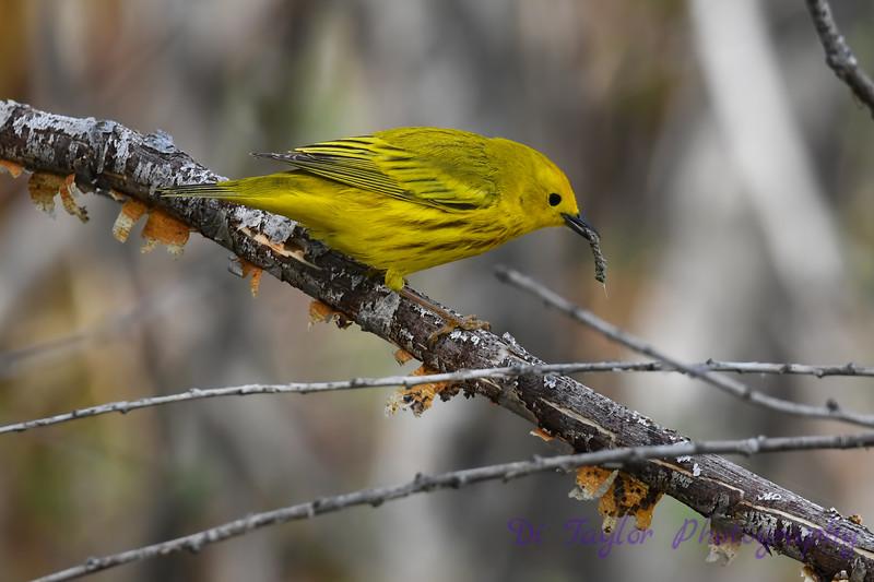 Yellow Warbler male having breakfast May 31 2020