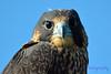 Peregrine Falcon Jeuvenile