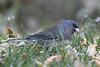 Dark Eyed Junco 3 Oct 2018