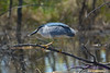 Night Heron 4