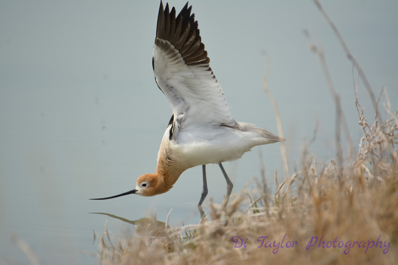 American Avocet doing I don't know what