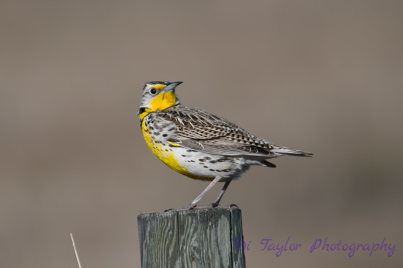 Meadowlark 5  28 April 2018