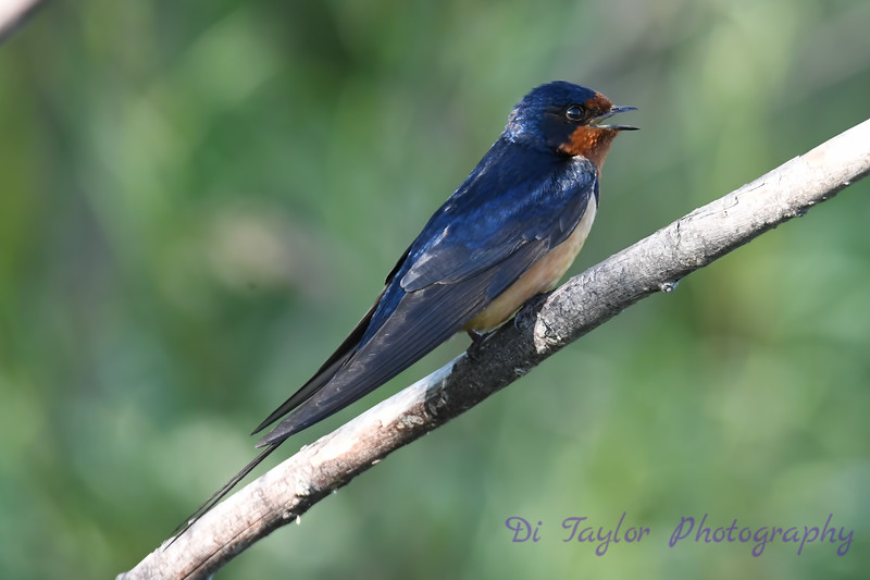 Barn Swallow 2 16 Jul 2020